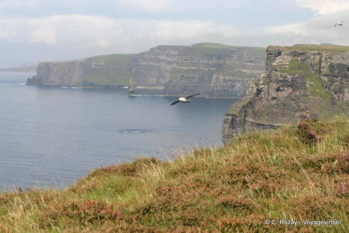 Oiseau marin et paysage des Cliffs of Moher, Irlande