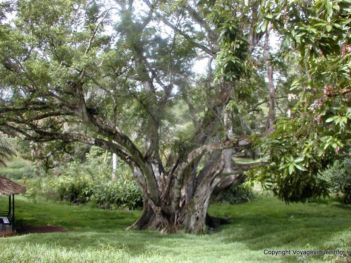 Gran rbol del jard n de pamplemousses mauricio for Jardin pamplemousse